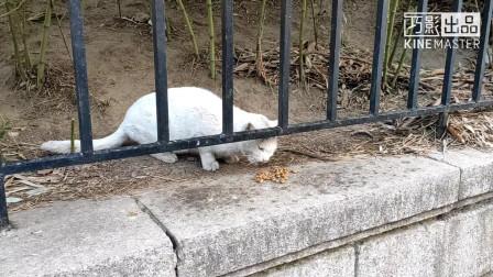 青岛八大关的流浪猫小白