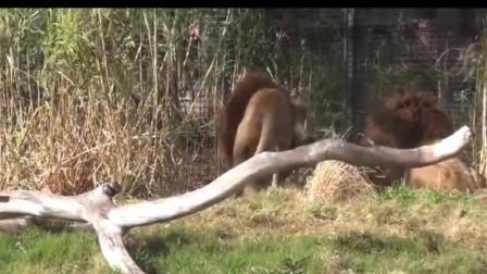 三只巴巴里狮子的激烈战斗