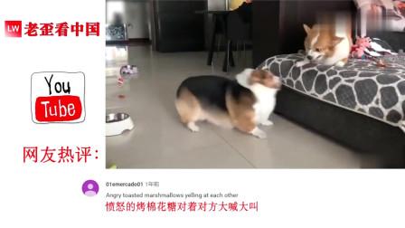 老外看中国:中国柯基吵架火到国外了,外国网友:很明显他们已经结婚很久了!