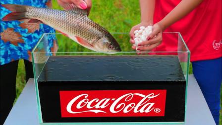 将可乐倒进水箱中,再加入曼妥思和鱼,结果你猜怎么着?