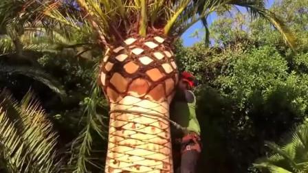 手工给棕榈树铲皮,看着真舒服,治好了我多年的强迫症