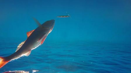 长尾鸟的水下英姿,深海铁板慢摇的梦幻目标鱼种!