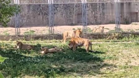 出来晒太阳的老虎与狮子