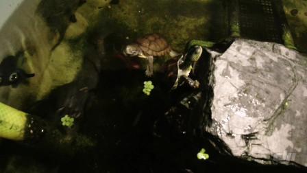 大晚上的,让我康康龟龟们在干嘛?