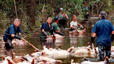 非洲红河猪泛滥成灾,繁殖能力相当迅速,网友:已经准备好碗筷!