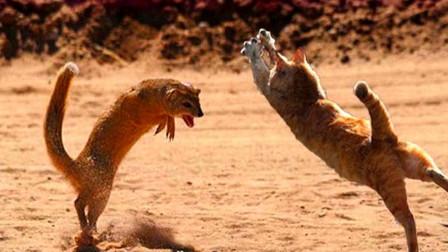 黄鼠狼不服挑衅猫咪,瞬间被秒杀,镜头记录精彩一幕!