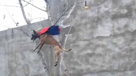江西大哥养的狗都快学会飞了,自己的却只知道拆家,哎!