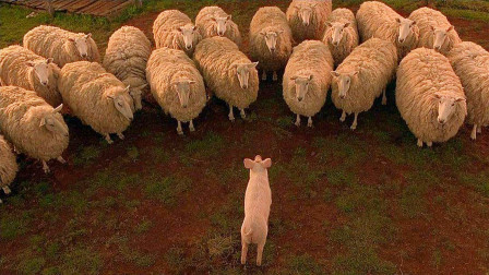 小猪为了不被人类吃掉,努力变成一只牧羊犬,豆瓣高分喜剧片!