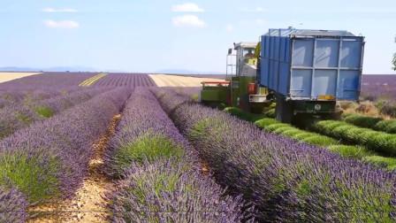 法国的农业机械化有多高?用机器收薰衣草,一台机器顶十个工人