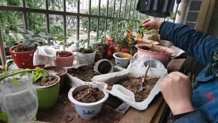 无臂女孩和老公在阳台上种了一片小花园,草莓成熟了,摘来吃