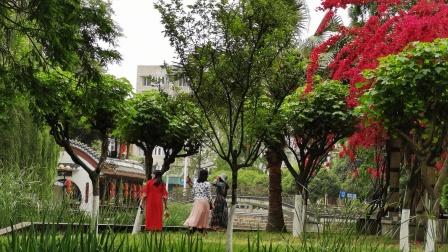微影《都市公园、灵秀温江》处处满园春色,那三角梅盛开醉倒无数游人