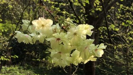 绿色樱花,你见过吗?