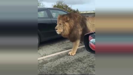 【狮子】野生动物园里的强壮雄狮,比小汽车还高