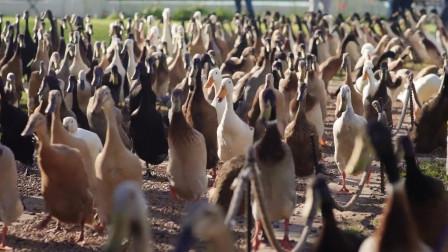 奇怪的工作增加了!这家农场雇来2000鸭子灭害虫