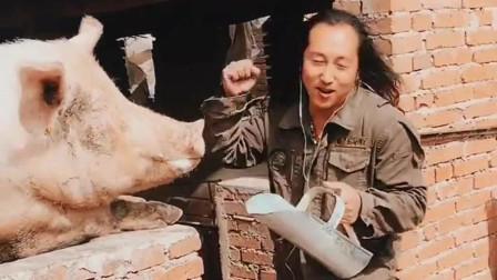 大叔对着母猪演唱《老妹你真美》,没想到母猪这么配合,太搞笑了