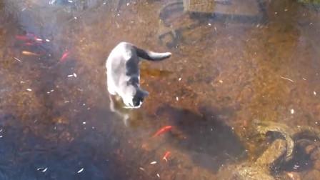 猫咪那些神级捕鱼GIF出处,我都给你找到了原视频!