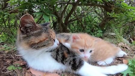 偶遇一只橘猫小精灵,猫妈妈给养的也太眉清目秀了