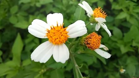 生活百科31-路边漂亮的小花 捕捉精彩的瞬间 原生态自然景观 音乐