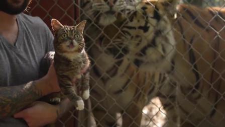 把老虎和猫咪一起养,这老虎怎么也变得猫里猫气了