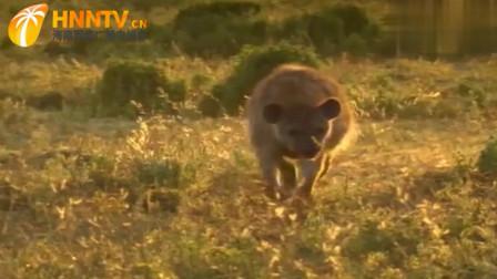 大自然:鬣狗群夜袭狮群,把狮子吓得逃到树上,王者颜面瞬间扫地!