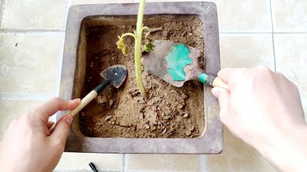 在花盆种了棵土豆,3个月后扒开看看能结几个土豆?