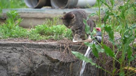 中年猫咪的快乐你想象不到!也就抓抓鱼享受下生活