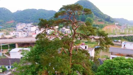 在贵州村子能看到这种树也是稀奇,这叫什么树?长得张牙舞爪的
