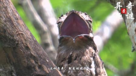 鸟类中的伪装大师, 为了躲避天敌假装成枯枝, 一装就是一辈子
