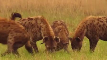 大自然:对鬣狗大家群来说,饥肠辘辘是常有的事,它们为了食物不顾一切