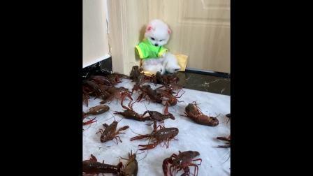 原来狗也会害怕龙虾!