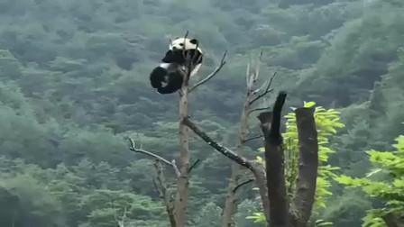 被饲养员骂了几句,熊猫竟爬到树梢不下来,难怪把自己作成国宝!