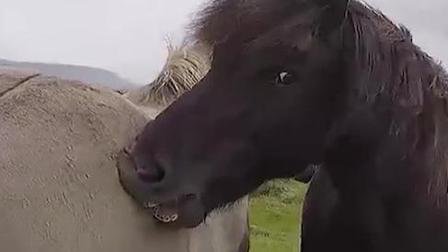 冰岛人是如何看风向的,只需要看旁边的马的屁股就可以