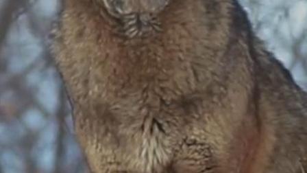 红太狼的原型是什么,原来是这种狼,竟然比大熊猫更稀有.