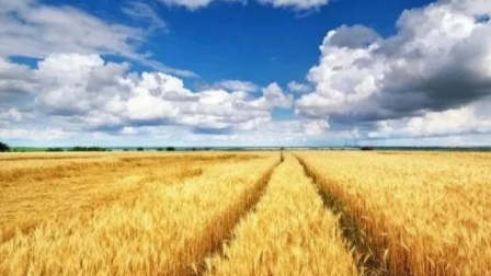 合阳县今夏麦子喜获丰收