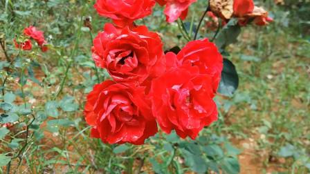 网络红歌-有点甜 纯音乐 dj歌曲 捕捉精彩的瞬间 红玫瑰自然美景 生活百科