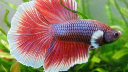 这群游在水中的鱼,颜色缤纷绚丽,尾巴甚至比孔雀美得更胜一筹