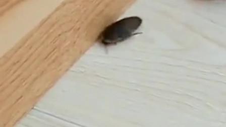 从小喂养大的蜥蜴,虫子就在嘴边也不会吃,只能当做笑话来看了!