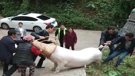 贵州农村小伙家养了三头大猪,被城里有钱人一万元买走一头,发财了!