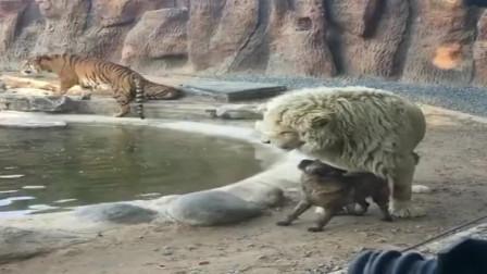 一只狗狗闯入动物园,面对狮子和老虎一点也不怂,要不是拍下难以置信