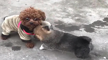 广西小伙带泰迪回家过年,结果在人家地盘上还敢撒野,打不赢了吧!