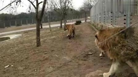 广东动物园,壮年东北虎被狮子打怕了,见到狮子立马就趴下求饶!
