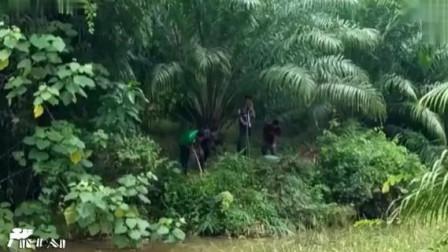 巨型眼镜王蛇咬死蟒蛇,被泰国村民活抓,这条最少15斤吧!