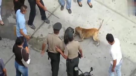 就服这只中华田园犬,谁也不能阻止它,比特犬也没这么凶猛吧!