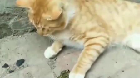 小橘猫别再欺负这条蛇了,人家都磕头认错了。