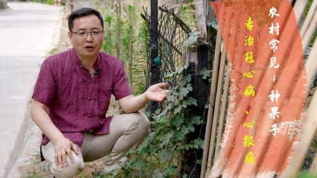 农村随处可见的1种果子,医圣张仲景:专治冠心病、心绞痛