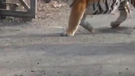 凶猛的东北虎,但因为体型大被称为胖虎,却是最大的老虎.