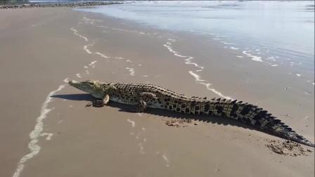 这鳄鱼怎么就跑到海滩上了