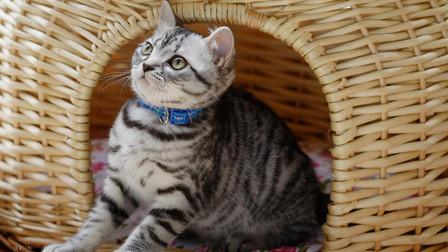 一只美短、两只美短、一群美短,程序员邀你在线撸猫!体验撸猫的快乐!