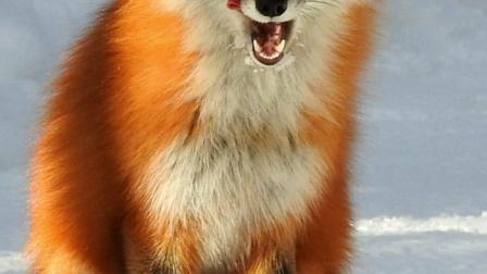 智商高的赤狐,虽然适应性强,却无奈攻击力太差
