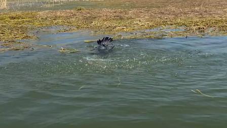 农村人吃鱼真简单,带着鱼鹰来湖里抓鱼,根本不用自己动手!